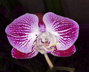 Red and white striped flower of Moth Orchid, Phalaenopsis cultivar on dark background