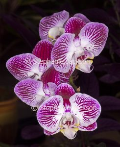 Red and white striped flowers of Moth Orchid, Phalaenopsis cultivar on dark background