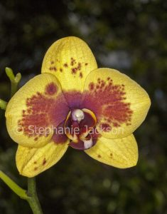 Red and yellow flower of Moth Orchid, Phalaenopsis cultivar on dark green background