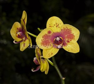 Red and yellow flower of Moth Orchid, Phalaenopsis cultivar on dark background