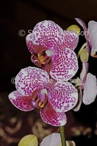 Red and white speckled flower of Moth Orchid, Phalaenopsis cultivar on dark background
