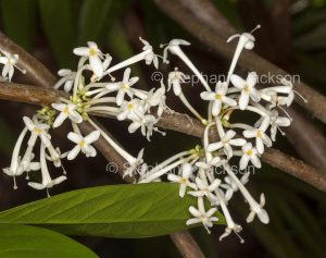Cluster of white perfumed flowers of Phaleria clerodendron, and Australian native shrub / small tree.
