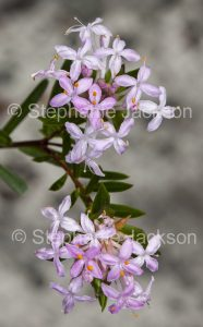 Australian wildflowers, Pimelia species in Queensland Australia.