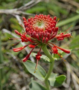 Red flower of Pimelea haemostachys, blood pimelea in central Queensland Australia.