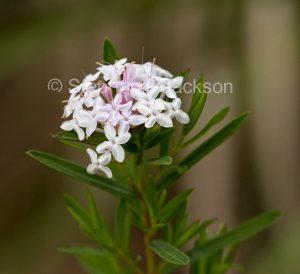 Australian wildflowers, Pimelia linifolia, in Queensland Australia.