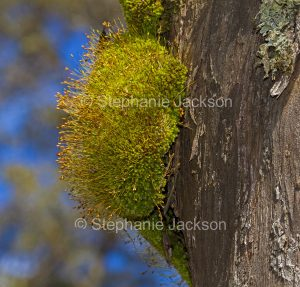 Pincushion moss. Leptostomum inclinans growing on a tree trunk at Barrington Tops National Park NSW Australia.