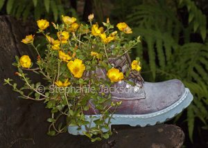 Container gardening, Portulaca grandiflora, with yellow flowers, growing in decorative container / pot, a concrete boot.