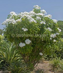 White flowers of Plumeria pudica 'Everlasting Love', Evergreen Frangipani.