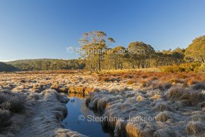 Winters morning with frost on golden grasses at Polblue swamp in Barrington Tops National Park in NSW Australia