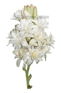 White perfumed flowers of Polianthes tuberosa, Tuberose on white background