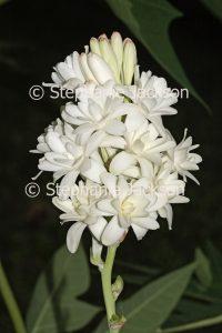 White perfumed flowers of Polianthes tuberosa, Tuberose on dark background