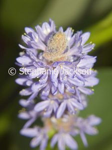 Blue flowers of Pontederia cordata, Pickerel Rush, an aquatic plant