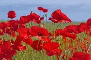 Vivid red poppies, Papaver rhoeas, Flanders Poppy. against blue sky