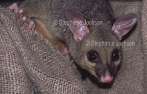 Brushtail possum, Trichosurus vulpecula, nocturnal animal peering from among old sacks in a garden shed in an urban backyard in Queensland Australia