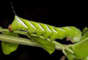 Green caterpillar of Privet Hawk Moth,Psilogramma casuarinae