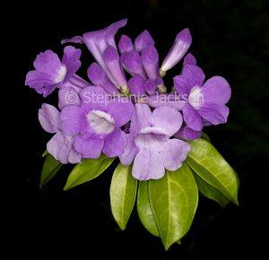 Mauve scented flowers and green leaves of climbing plant, Garlic Vine, Mansoa alliacea syn. Pseudocalymma alliaceum / Bignonia alliacea.