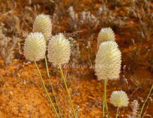 Australian wildflowers, Ptilotus macrocephalus, Green Pussytails, in outback Queensland Australia.