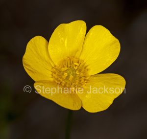 Yellow flower of Ranuculus lappaceus, common buttercup on dark background