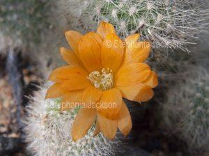 Orange flower and white hairy body of cactus plant, Rebutia muscala