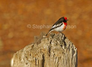 Red-capped Robin, Petroica goodenovii, on a weathered stump in outback / northern South Australia