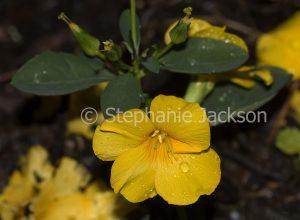 Yellow flower of Reinwardtia indica, shrub, Golden Dollar Bush with raindrops on petals.