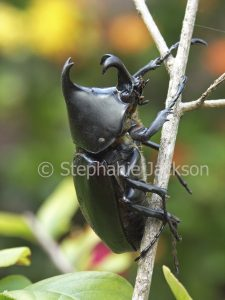 Rhinocerous / elephant beetle, Xylotrupes gideon, in Queensland Australia