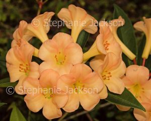 Cluster of apricot orange flowers of tropical Vireya Rhododendron 'Just Peachy'.