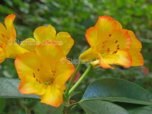 Orange and yellow flowers of tropical Vireya Rhododendron 'Hot Topic.'