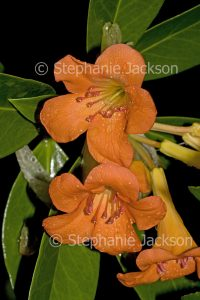 Cluster of orange flowers of tropical Vireya Rhododendron 'Orange Way' with raindrops on petals