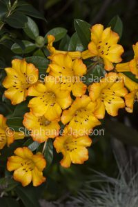 Cluster of orange and yellow flowers of tropical Vireya Rhododendron 'Hot Topic.'