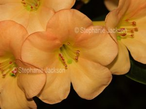 Apricot orange flower of tropical Vireya Rhododendron 'Just Peachy'