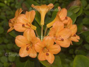 Cluster of orange flowers of tropical Vireya Rhododendron 'Orange Way'.