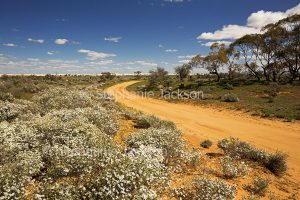 Australian outback landscape with wildflowers, masses of white Olearia daisies lining narrow red dirt road / track at Mungo National Park in NSW Australia