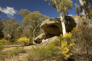 Landscape with gigantic boulders, dense forest, wattle / acacia trees flowering in Wollemi National Park in NSW Australia