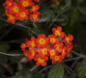 Cluster of vivid orange flowers of Rondeletia odorata, evergreen shrub, Bangkok Rose, on dark background