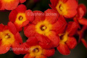 Cluster of vivid orange flowers of Rondeletia odorata, evergreen shrub, Bangkok Rose