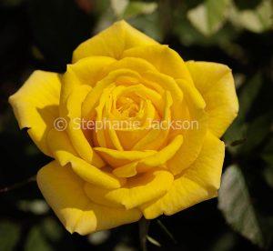 Bright yellow rose on dark green background