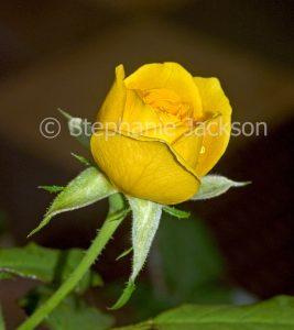 Golden yellow rose bud on dark background