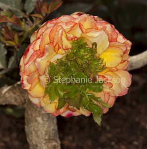 Parade rose with flower showing proliferation, a mutation effect