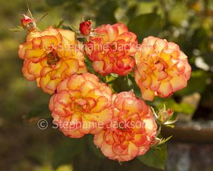Cluster of red and orange Parade roses.