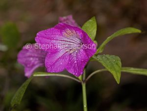 Magenta flower of Ruellia macrantha, a shrub that's commonly known as Christmas Pride.
