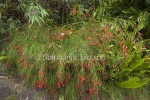Russellia equiseliformis, Fountain Bush.