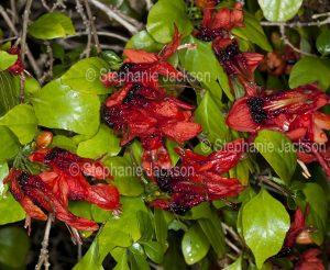Red flowers of Ruttya fruticosa, evergreen shrub, Jammy Mouth.