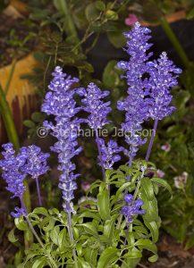 Blue flowers of Salvia farinacea 'Sallyfun'.