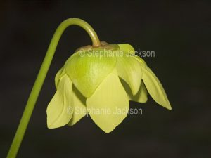 Unusual flower of Sarracenia species, a carnivorous, insect-eating plant.