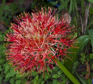 Unusual red flower of Scadoxus multiflorus syn. Haemanthus, commonly known as a 'Blood Lily'.