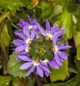 Purple flower of Scaevola aemula cultivar 'Midnight', Fanflower, with raindrops on petals,in Queensland Australia.