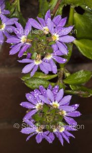 Purple flowers of Scaevola aemula cultivar 'Midnight', Fanflower, with raindrops on petals,in Queensland Australia.