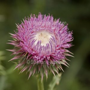 Mauve / pink flower of Spear Thistle, Cirsium vulgare.