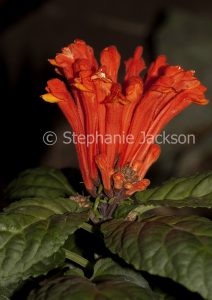 Vivid red flowers of Scutellaria costaricana 'Jester's Joy, a perennial plant that's commonly known as Skullcap.